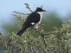 Jacobin Cuckoo Clamator jacobinus pica (nik.borrow) Tags: bird cuckoo ndutu