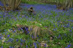 Common Bluebell (Adam Swaine) Tags: bluebells woodland woodlandfloor trees wildflowers flora flowers uk ukcounties counties countryside kent spring springinkent walks nature naturelovers canon beautiful britain british seasons greenpurple