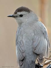Gray Catbird (Arvo Poolar) Tags: outdoors ontario canada scarborough rosettamcclaingardens arvopoolar bird perched nature naturallight natural naturephotography nikond500 graycatbird