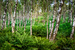 Silver woods (Through_Urizen) Tags: category derbyshire england landscape places surpriseview canon70d outdoor canon canon1585mm wood woodland trees silverbirch fern nature natural countryside rural