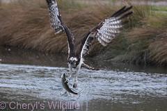 Osprey (Cheryl's Wildlife) Tags: wildlife nature 2019 birdwatching nikon sigma photography naturereserve rspb rutland ospreys hornmilltroutfarm rivergwash rutlandwater