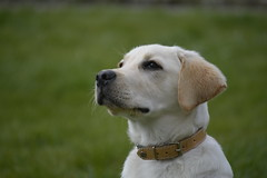 _Jeune Labrador (Jeromher) Tags: labrador chien chiot sable dog