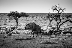 Namibia - Etosha - Wildbeest in Namutoni at sunrise (Julien O'Farley) Tags: africa animaux etosha gnou namibie namutoni wildbeest