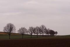 Allee im Feld (photohml) Tags: allee photograf bäume feld broich jülich rheinland nrw nordrheinwestfalen olympus mzuiko omd em5 40150 2019 landschaft