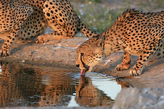 The 2 shy brothers (cheetahs) - Central Kalahari - Botswana (lotusblancphotography) Tags: africa afrique botswana nature wildlife faune animal cheetah guépard safari centralkalahari water eau reflection reflets