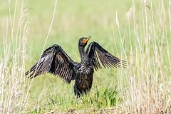 comoran (yvan turgis) Tags: france phalacrocoracidae maraisdebrière oiseaux paysdelaloire loireatlantique cormoran animaux marais saintmalodeguersac
