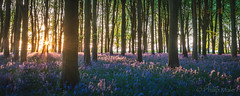 ... Bluebells before breakfast ... (Grandpops Woodlice) Tags: badburyclump bluebells bluebell oxfordshire