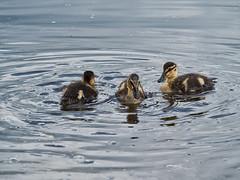 Geschwister (lebastian) Tags: panasonic enten animal duck dmcgx8 lumix g vario 100300f4056ii wasser tiere jungtier