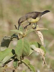 Variable Sunbird Cinnyris venustus falkensteini (nik.borrow) Tags: bird sunbird oldupai