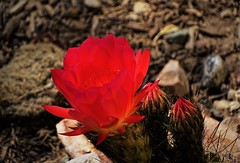 20190508 Cactus Flower fluorescing (lasertrimman) Tags: 20190508 cactus flower cactusflower fluoresce argentine hedgehog argentinehedgehogcactus chouricerías huascha chouriceríashuascha grows2fttalland3ftwide echinopsishuascha trichocereushuascha trichocereus argentiniantrichocereusspecies similartotrichocereusspachianus