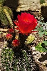 20190508 Cactus Flower (lasertrimman) Tags: 20190508 cactus flower cactusflower argentine hedgehog argentinehedgehogcactus chouricerías huascha chouriceríashuascha grows2fttalland3ftwide echinopsishuascha trichocereushuascha trichocereus argentiniantrichocereusspecies similartotrichocereusspachianus