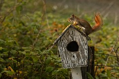 Red Squirrel (Anvilcloud) Tags: riverwood squirrel redsquirrel birdhouse