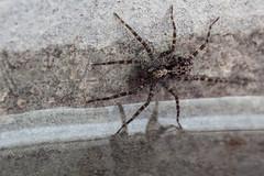 Getting Your Feet Wet - _TNY_0777 (Calle Söderberg) Tags: macro canon canon5dmkii canoneos5dmarkii canonef100mmf28usmmacro canon5dmarkii 5d2 raynox dcr250 flash meike mk300 glassdiffusor arachnida araneae lycosidae acantholycosa lignaria spider wolfspider spindel vargspindel stockvargspindel dip dipping brown mottled lycosoidea stripedlegs bristles f22 araneomorphae entelegynae