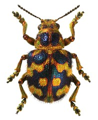 Eumolpinae sp. (dries.marais) Tags: coleoptera chrysomelidae eumolpinae beetle insect africa southafrica