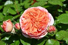 DSC_6848 (griecocathy) Tags: macro fleur rose feuille boutons gouttelette eau éclat rosée oranger vert