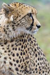 A profile of Sithle (Tambako the Jaguar) Tags: cheetah big wild cat male portrait face profile looking close lionsafaripark southafrica johannesburg nikon d5