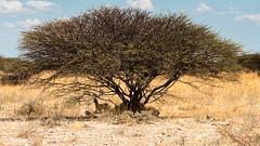 Namibia - Etosha - No Dignity (Julien O'Farley) Tags: africa animaux bush etosha lion namibie pays savanna trees