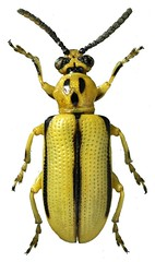 Criocerinae sp. (dries.marais) Tags: coleoptera chrysomelidae criocerinae beetle insect africa southafrica leafbeetle