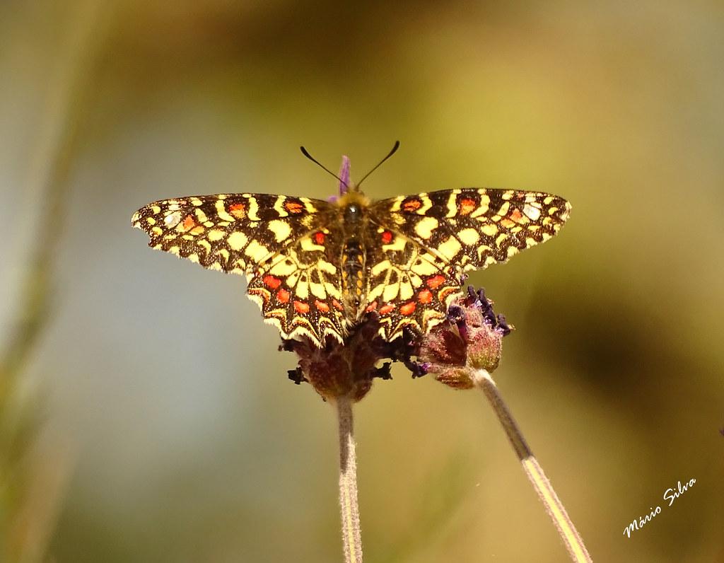 Águas Frias (Chaves) - ... colorida borboleta, apoiada em duas flores ...