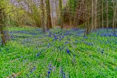 Bluebells (Sarah Marston) Tags: bluebells fareham hampshire sony ilce6300 april 2019 icm incameramovement