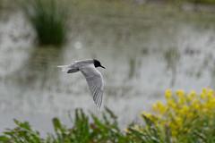 Black Tern (VaughanG) Tags: blacktern catcottlows somersetlevels sonyrx10m4