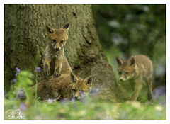 top of the pile in wonderland (richgparkes) Tags: fox cub family nature wood bluebells spring