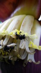 florada no bananal (abelhário) Tags: floradadebanana flordebanana bananaflowers bananenbloesem bananenbloem bananaflower bananablossom