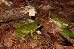 Green Tree Frog, Beaufort County, SC, May 2019 (sstaedtler) Tags: frog herping cruising wildlife amphibian outdoors nature southcarolina outside
