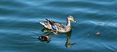Me & the Kid (zeesstof) Tags: zeesstof businesstrip timeoff irving texas lascolinas dallassuburbs lake lakecarolyn bird wildbird duck lakesidewalk ducklings mallardduck anasplatyrhynchos