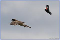 The Chase 0867 (maguire33@verizon.net) Tags: antelopeislandstatepark bif northernharrier redwingedblackbird bird birdofprey blackbird chase harrier hawk raptor wildlife syracuse utah unitedstatesofamerica
