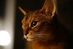 LizZie in the dark (DizzieMizzieLizzie) Tags: kamlan 50mm 11 a6500 ilce6500 abyssinian aby lizzie dizziemizzielizzie portrait cat feline gato gatto katt katze kot meow pisica sony neko gatos chat fe ilce pose classic golden bokeh dof 2019 apsc