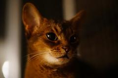 LizZie in the dark (DizzieMizzieLizzie) Tags: kamlan 50mm 11 a6500 ilce6500 abyssinian aby lizzie dizziemizzielizzie portrait cat feline gato gatto katt katze kot meow pisica sony neko gatos chat fe ilce pose classic golden bokeh dof 2019 apsc claireobscure
