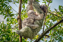 Nursing Baby Sloth (helenehoffman) Tags: mother costaricapanama2019 costaricantrails conservationstatusleastconcern arenalvolcanonationalpark uncruiseadventures mammal costarica bradypusvariegatus motherandchild arboreal sloth 3toedsloth brownthroated3toedsloth animal