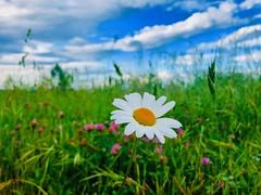 iph8052 (gzammarchi) Tags: italia paesaggio natura pianura campagna ravenna sanmarco fiore margherita