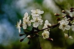 Apple tree blooms (prokhorov.victor) Tags: весна природа цветение яблоня цветок цветы макро сад