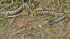 Adder (image 2 of 4) (Full Moon Images) Tags: rspb minsmere wildlife nature reserve reptile male adder
