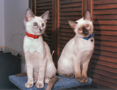 Balinese cats (M McBey) Tags: cats cute balinese white pretty nikkormatftn 50mmf20 ailens