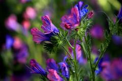 Brightly colored wildflowers (ᗰᗩᖇᓰᗩ ☼ Xᕮ∩〇Ụ) Tags: nature natur wildeblumen wildflowers greece griechenland ελλαδα πελοποννησοσ χρωματα στιγμεσ αγριολουλουδο αγριολουλουδα φυση canoneos1100d simplicity farben colours einfachheit απλοτητα ocology ökologie umwelt
