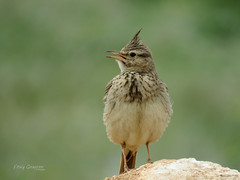 Singing Crested Lark (Galerida cristata). (Vitaly Giragosov) Tags: хохлатыйжаворонок певчие севастополь крым россия crestedlark galeridacristata songbird crimea russia