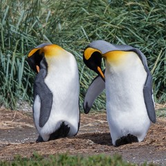 Just Good Friends (Ian.Kate.Bruce's Wildlife) Tags: kingpenguin aptenodytespatagonicus spheniscidae bird penguin wildlife nature ianbruce katebruce uselesssound patagonia tierradelfuego chile southamerica