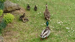 Family of Ducks, Cheltenham, UK (photphobia) Tags: cheltenham park pond ducks duck drake duckling wildlife animals birds oldwivestale