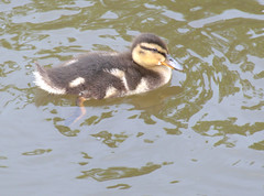 Cute duckling (Tony Worrall) Tags: birds bird wild wildlife nature natural wet water canal cute fowl duck duckling small baby young preston lancs lancashire city welovethenorth nw northwest north update place location uk england visit area attraction open stream tour country item greatbritain britain english british gb capture buy stock sell sale outside outdoors caught photo shoot shot picture captured ilobsterit instragram photosofpreston ashtononribble ashton