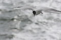 Black-headed gull (Pietro__c) Tags: blackheadedgull gull sea flying bird water summer boat ferry waddeneilanden terschelling nederland netherlands nikon nikond7200 nikkor white travelling outside iso400 olanda d7200 f8 backlight nature 70210mm 210mm waddenzee