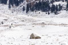 Grey Wolf, Really (JSPhotoBook) Tags: 2010s 2019 2star 3star animals camera continentlocation day5lamarvalleycookecitygardiner greywolf lamarvalley nikond5000 northamerica orbridge2019 travel usa wyoming yellowstone