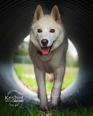 Picture of the Day (Keshet Kennels & Rescue) Tags: adoption dog ottawa ontario canada keshet large breed dogs animal animals pet pets field nature photography tunnel siberian husky white tube walk tongue out smile grass light