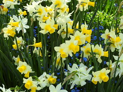 British Columbia, Vancouver Island, Butchart Gardens DSCN4232 (ianw1951) Tags: britishcolumbia canada daffodils flowers gardens spring vancouverisland