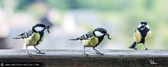 24h de responsabilités paternelles (Mathieu Muller) Tags: extérieur outdoor bird oiseau mésange tit nature wild wildlife animaux animals wwwmathieumullercom mathieumuller