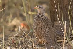 Francolín de Natal (ik_kil) Tags: francolíndenatal natalfrancolin pternistisnatalensis kruger krugernationalpark southafrica francolinusnatalensis