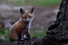 FoxCub2 (Rich Mayer Photography) Tags: fox foxes cub cubs pup pubs baby babies nature wild life wildlife animal animals nikon