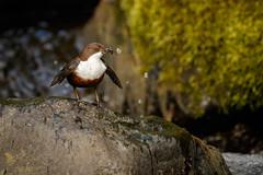 Dipping Dipper (ABPhotosUK) Tags: animals birds bokeh canon cincluscinclus collybrook dartmoor devon dipper dippers ef500mmf4lis eos7dmarkii seasons spring springwatch wildlife